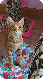 Domestic Shorthair Kitten for adoption in Huntsville, Alabama - Neptune
