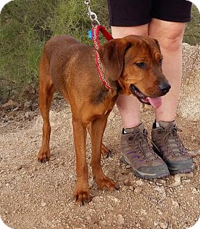 Hound (Unknown Type)/Foxhound Mix Dog for adoption in Higley, Arizona - RUFUS