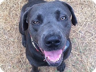 Labrador Retriever Mix Dog for adoption in Austin, Texas - Coleman
