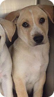 Labrador Retriever Mix Puppy for adoption in San Antonio, Texas - Johnny