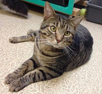 Domestic Shorthair/Domestic Shorthair Mix Cat for adoption in Anderson, Indiana - Walter