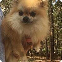 Adopt A Pet :: Lola - Gainesville, FL