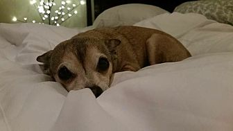 Chihuahua/Chihuahua Mix Dog for adoption in Washington DC, D.C. - Karma