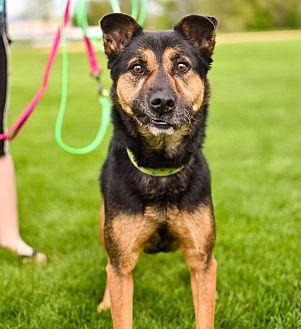 Shepherd (Unknown Type)/Australian Shepherd Mix Dog for adoption in Minneapolis, Minnesota - Lollipop