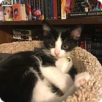 Adopt A Pet :: Blossom - Hazel Park, MI