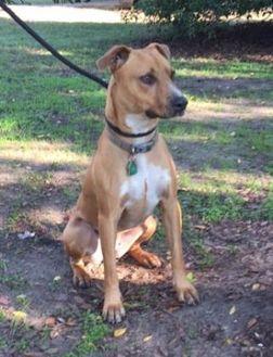Foxhound Mix Dog for adoption in Ravenel, South Carolina - MJ