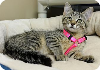 Domestic Shorthair Kitten for adoption in Germantown, Tennessee - Roseanna