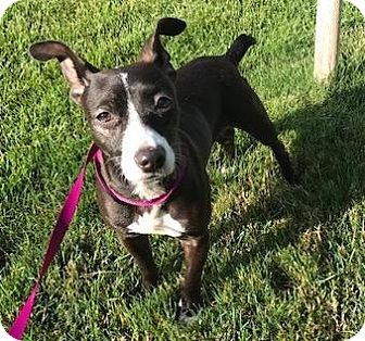 Chihuahua/Rat Terrier Mix Dog for adoption in Fort Collins, Colorado - Cocoa