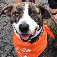 Basset Hound Mix Dog for adoption in Fairfax, Virginia - Tank * Adopt or Foster *