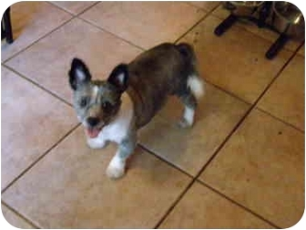 Sheltie, Shetland Sheepdog/American Eskimo Dog Mix Dog for adoption in Central, Florida - Riley