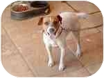 Jack Russell Terrier Dog for adoption in Burbank, California - ROXY