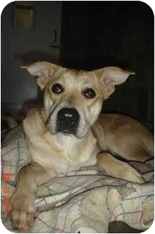 Labrador Retriever Mix Dog for adoption in Lake Odessa, Michigan - Beverly
