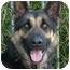 Photo 2 - German Shepherd Dog Mix Dog for adoption in Los Angeles, California - Zack von Zelinger