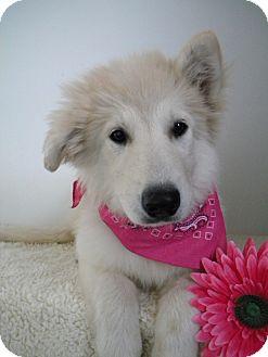 Husky Mix Puppy for adoption in Monteregie, Quebec - Dallas