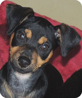 Miniature Pinscher Mix Puppy for adoption in La Habra Heights, California - Scout