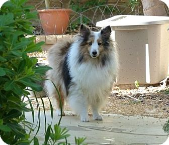 Sheltie, Shetland Sheepdog Dog for adoption in La Habra, California - Picasso