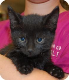 Domestic Shorthair Kitten for adoption in Brooklyn, New York - Fynn