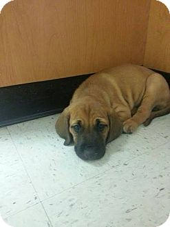 Coonhound Puppy for adoption in Wethersfield, Connecticut - Delilah