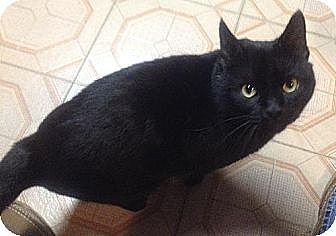 Domestic Shorthair Cat for adoption in Plain City, Ohio - Blackie