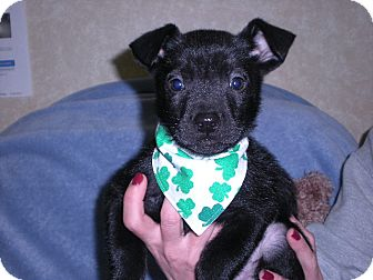 """Australian Cattle Dog/Pit Bull Terrier Mix Puppy for adoption in New Castle, Pennsylvania - """" Jace """""""
