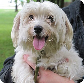 Maltese/Poodle (Miniature) Mix Dog for adoption in Albany, New York - Olaf