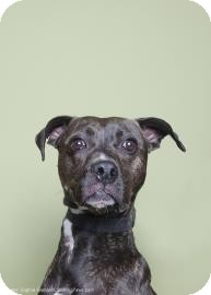 Pit Bull Terrier Mix Dog for adoption in Brooklyn, New York - Pauly