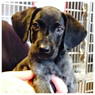 German Shorthaired Pointer Mix Puppy for adoption in West LA, California - Chloe