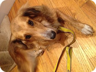 Collie/Golden Retriever Mix Dog for adoption in Pennigton, New Jersey - Shelby