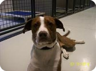 Border Collie/Pit Bull Terrier Mix Dog for adoption in Hartford, Kentucky - Archer