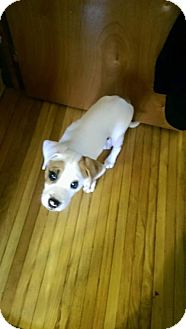 Boxer Mix Puppy for adoption in Kenmore, New York - Pickles