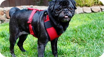 Pug Dog for adoption in Pismo Beach, California - Posey