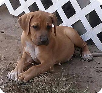 Mastiff Mix Puppy for adoption in Freeport, New York - Rosie