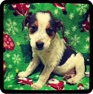Collie/Beagle Mix Puppy for adoption in Grand Bay, Alabama - Orion