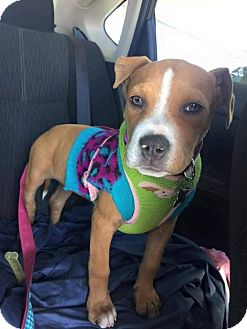 Boxer/American Staffordshire Terrier Mix Puppy for adoption in Phoenix, Arizona - London