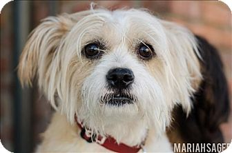 Terrier (Unknown Type, Small) Mix Dog for adoption in Encino, California - Cody
