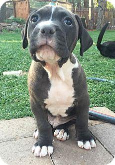 Mastiff/Labrador Retriever Mix Puppy for adoption in Cave Creek, Arizona - Boyd