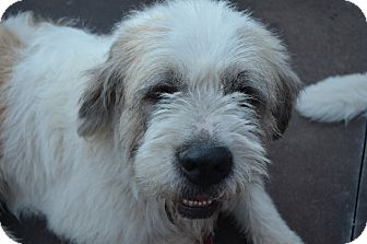 St. Bernard/Irish Wolfhound Mix Dog for adoption in Bellflower, California - Snoopy