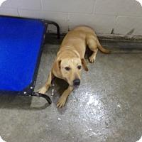 Labrador Retriever Mix Dog for adoption in Osceola, Arkansas - BELLA