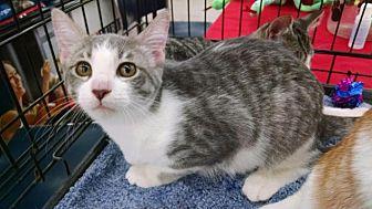 Domestic Shorthair Kitten for adoption in MARENGO, Illinois - Cindy