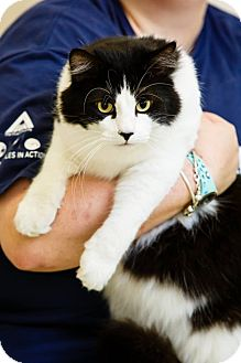 Domestic Longhair Cat for adoption in Windsor, Virginia - Moo Moo