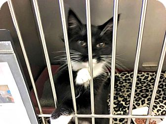 Domestic Shorthair Cat for adoption in Flint, Michigan - Chuck