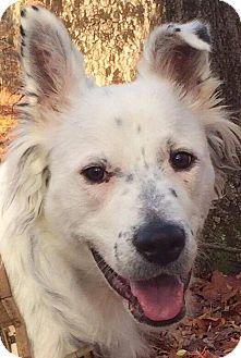 Australian Shepherd/Retriever (Unknown Type) Mix Dog for adoption in CUMMING, Georgia - Zeke