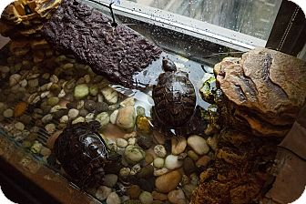 Turtle - Water for adoption in Livermore, California - Kevin and Kevin
