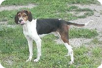 Treeing Walker Coonhound Dog for adoption in Palatine/Kildeer/Buffalo Grove, Illinois - Hudson
