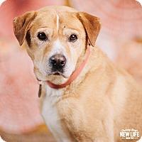 Adopt A Pet :: Laddie - Portland, OR