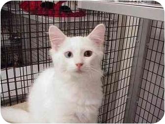 Domestic Mediumhair Kitten for adoption in Deerfield Beach, Florida - Prism