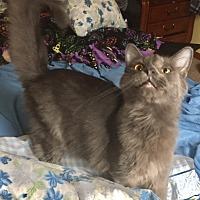 Domestic Longhair Cat for adoption in Sedalia, Missouri - Conley