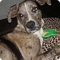 Adopt A Pet :: Otis - Manhattan, KS