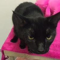 Domestic Shorthair/Domestic Shorthair Mix Cat for adoption in Brooksville, Florida - Licorice