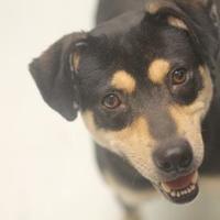 Adopt A Pet :: Shannon - Savannah, TN